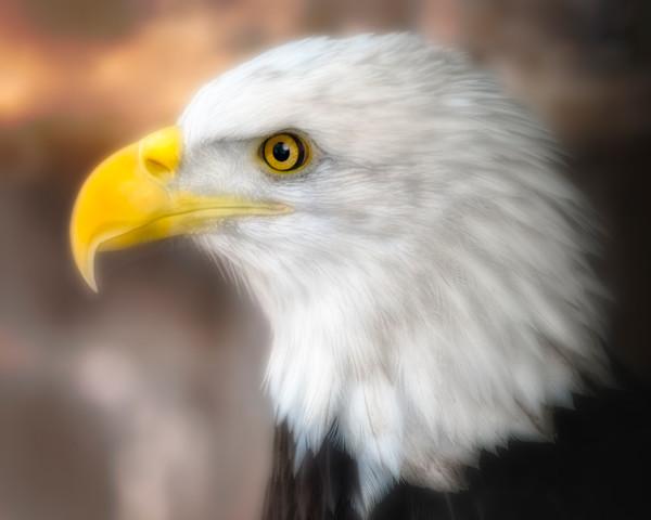 Bald Eagle Predatory Majestic Close-up Wall Decor fleblanc