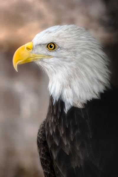 Bald Eagle Predatory Majestic Portrait Wall Decor fleblanc