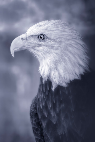 Bald Eagle Predatory Liberty Portrait|Wall Decor fleblanc