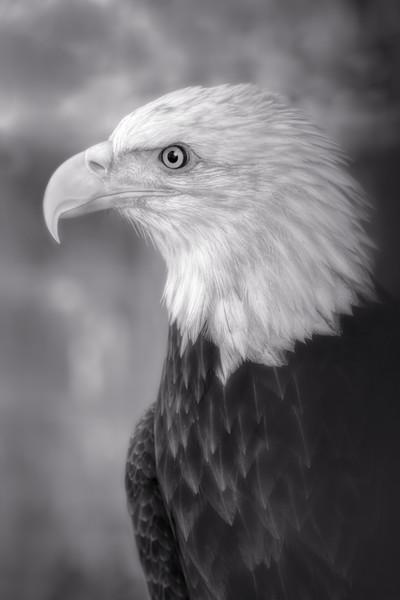 Bald Eagle Predatory Liberty Close-up|Wall Decor fleblanc