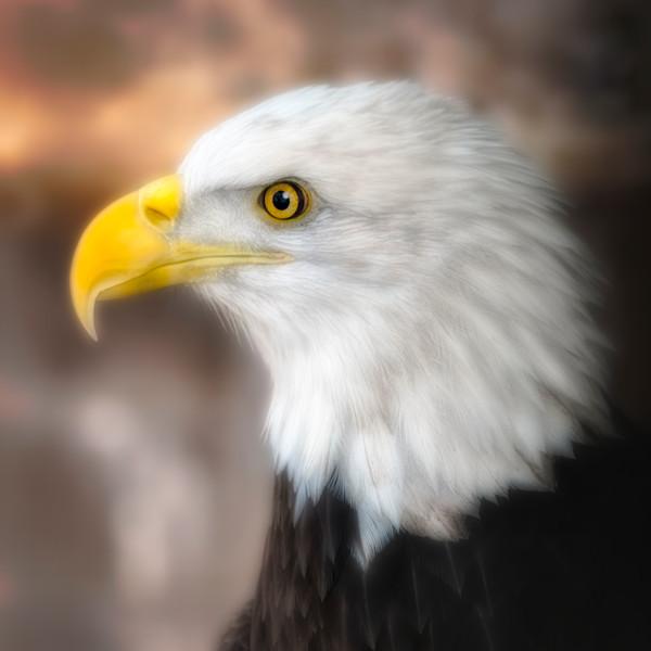 Bald Eagle Predatory Liberty Bird Majestic Wall Decor fleblanc