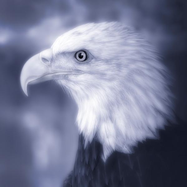 Majestic Endangered Bald Eagle Bird|Wall Decor fleblanc