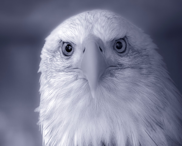 Majestic Endangered Bald Eagle Close-up|Wall Decor fleblanc