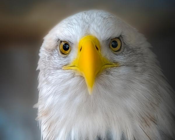 Majestic Endangered Bald Eagle Patriotism Wall Decor fleblanc