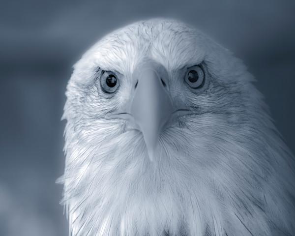 Majestic Endangered American Bald Eagle |Wall Decor fleblanc