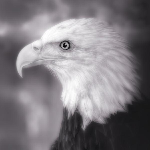 Majestic Endangered Bald Eagle Bird-of Prey|Wall Decor fleblanc