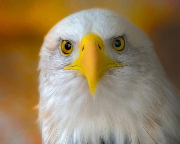 Majestic Endangered Bald Eagle Hunter Wall Decor fleblanc