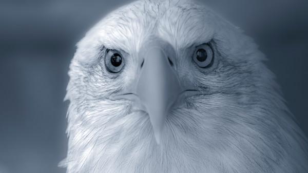Predatory Bald Eagle Endangered Close-up|Wall Decor fleblanc