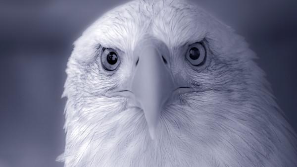 Predatory Hunter Bald Eagle Close-up|Wall Decor fleblanc