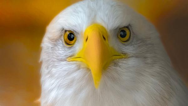 Bald Eagle Hunter Raptor Endangered Wall Decor fleblanc
