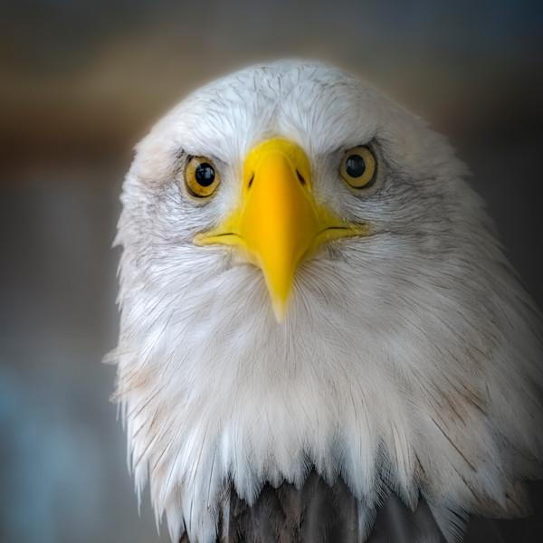 Bald Eagle Americana Predatory Close-up Wall Decor fleblanc
