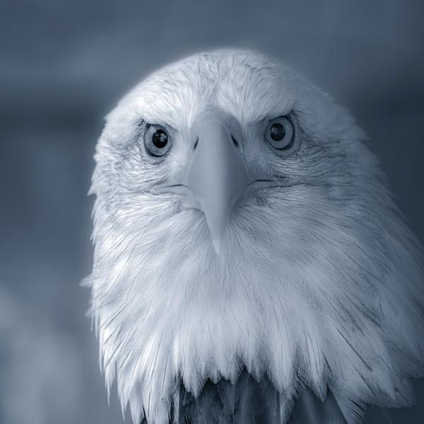 Bald Eagle Americana Predatory Raptor|Wall Decor fleblanc