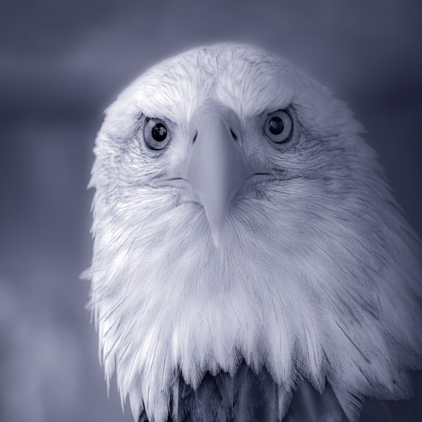 Black and White Birds Butterflies Macro Bald Eagle Hawk Owl Falcon fleblanc