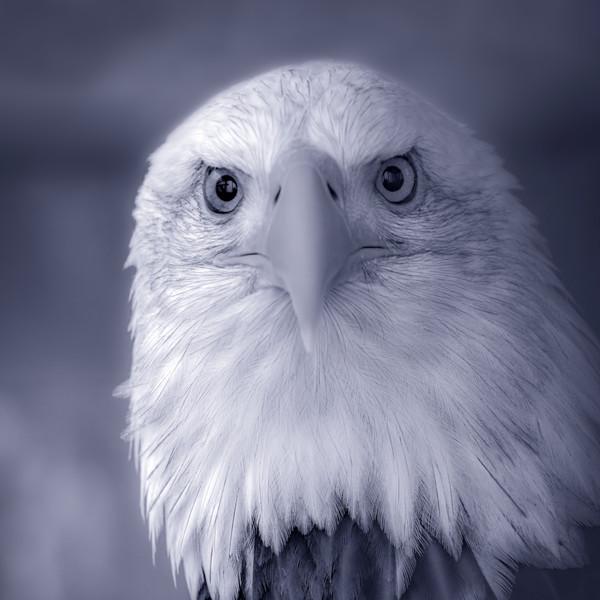 Bald Eagle Americana Predatory Liberty|Wall Decor fleblanc