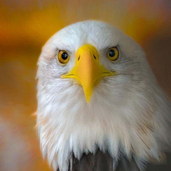 Bald Eagle Hunter Raptor Bird-of-prey Wall Decor fleblanc