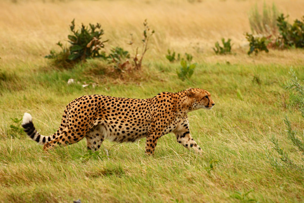 Cheetah on the move--we are tracking him