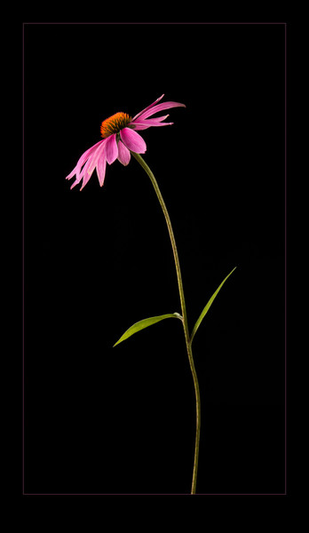 Coneflower 1, photograph of purple coneflower for sale as fine art.