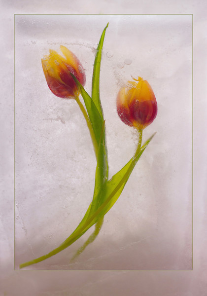 Waiting for Spring, a photograph of tulips frozen in ice for sale as fine art.