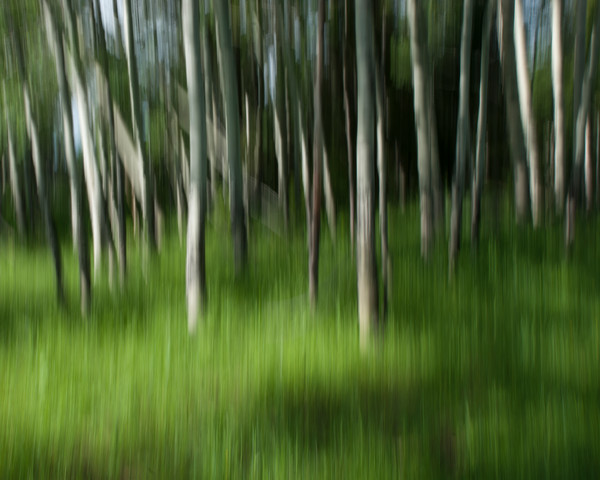 Photograph of Aspen Grove for sale as fine art.