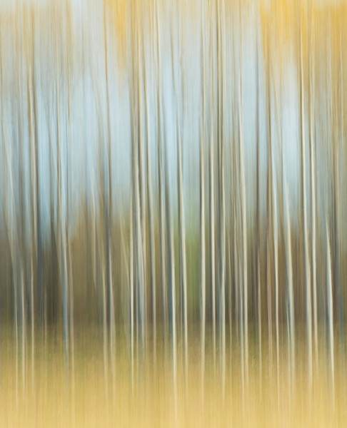 Golden Birches 1 for sale as fine art photograph.