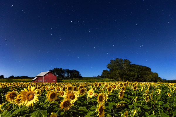 Moonlight On Kansas Sunflower Field & Red Barn for sale as art.