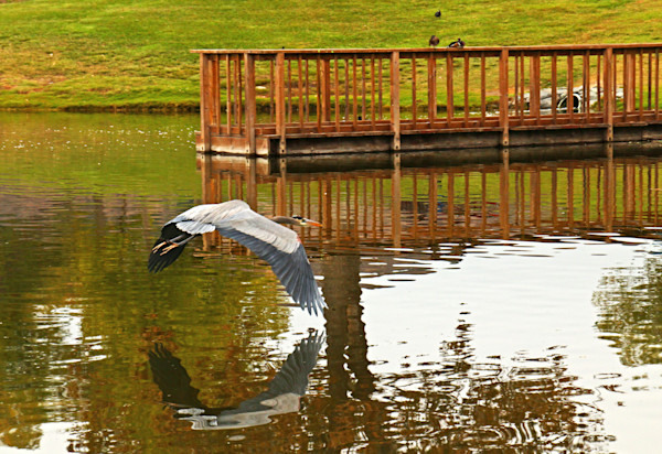 Great Heron in flight