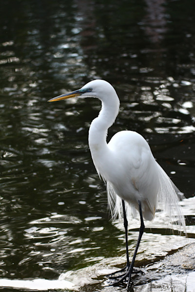 birds, the  Great Egret