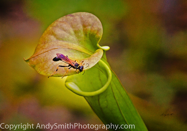 fine art photograph of wasp on pitcher plant