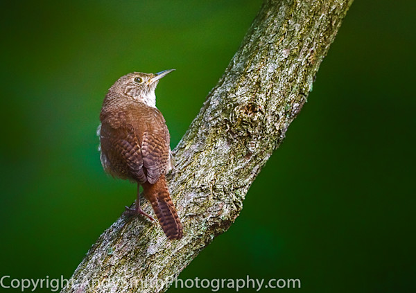 fine art photograph of house wren