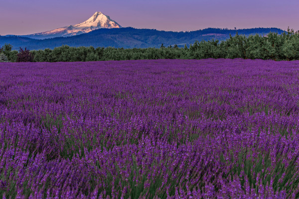 Sunrise On Mount Hood Lavender Field as art photograph by Mike Jensen