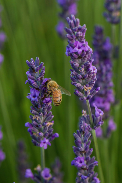 Bee On Lavender photograph for sale as art by Mike Jensen