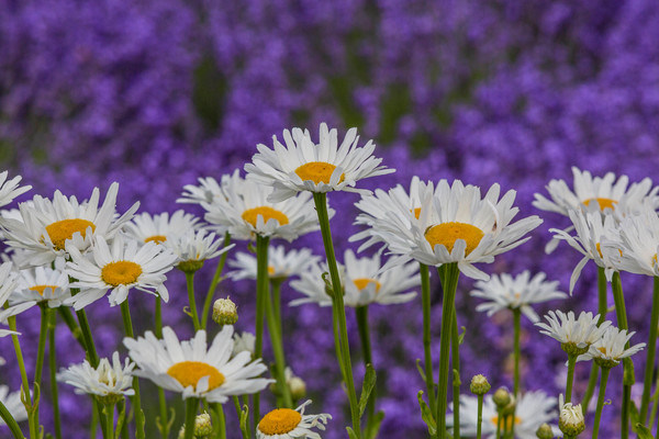 Daisies In The Lavender Field photograph as art by Mike Jensen.