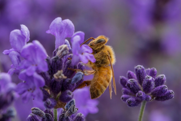Close Up Bee Drinking Lavender Nectar photograph for sale as art by Mike Jensen.