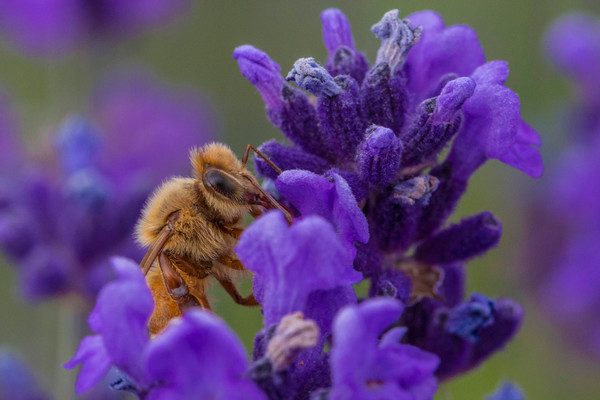 Bee Drinking Lavender Nectar photograph for sale as art by Mike Jensen
