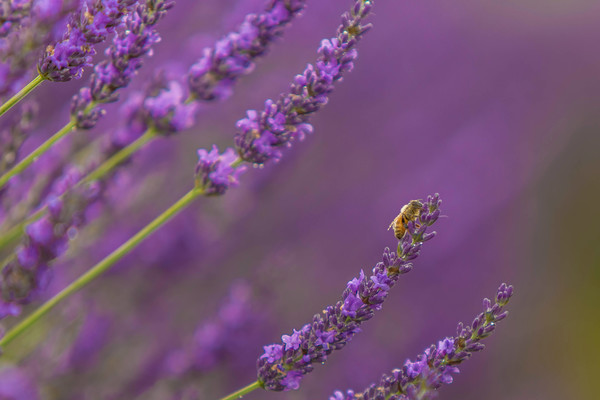 Bee In Lavender Field photograph as art by Mike Jensen