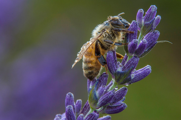 Bee Drinking Lavender Nectar Macro for sale as art by Mike Jensen