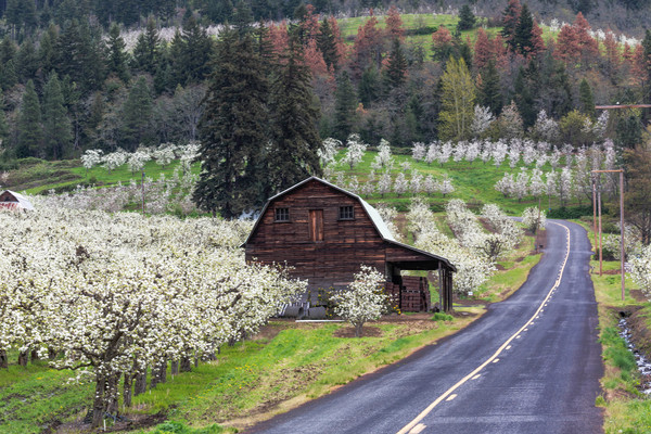Old Barn In Blossoming Apple Orchard photograph for sale as art by Mike Jensen
