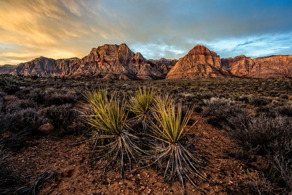 Yucca's in Red Rock Canyon