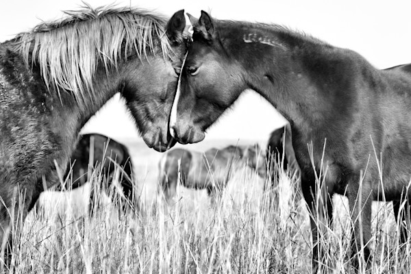 Wild Horse Photograph for sale as Fine Art.