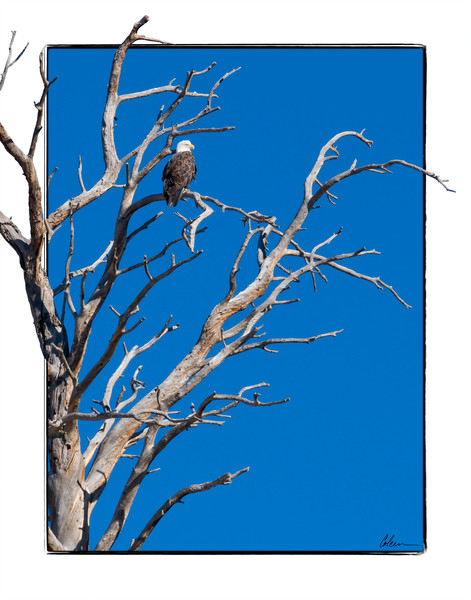 Bald eagle in a dead tree