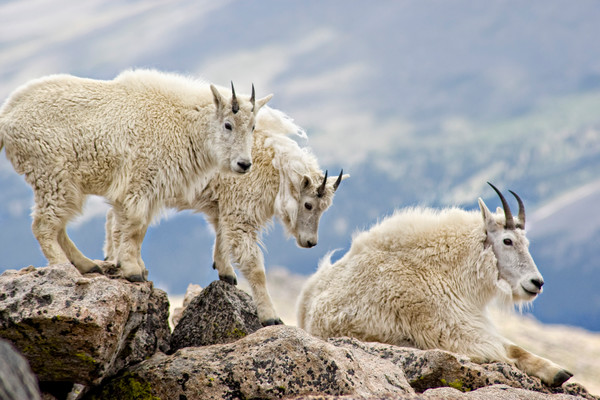 Mountain Goats on rocky ridge