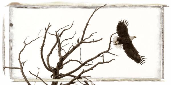 Bald eagle in flight from a dead tree