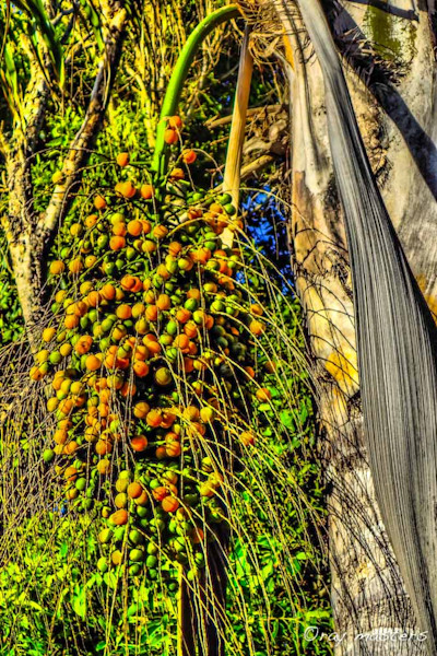 Seeds cascade from a Palm tree pod on Maui.