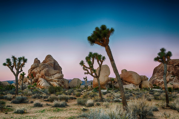 Sunrise On Joshua Tree photograph for sale as art by Mike Jensen