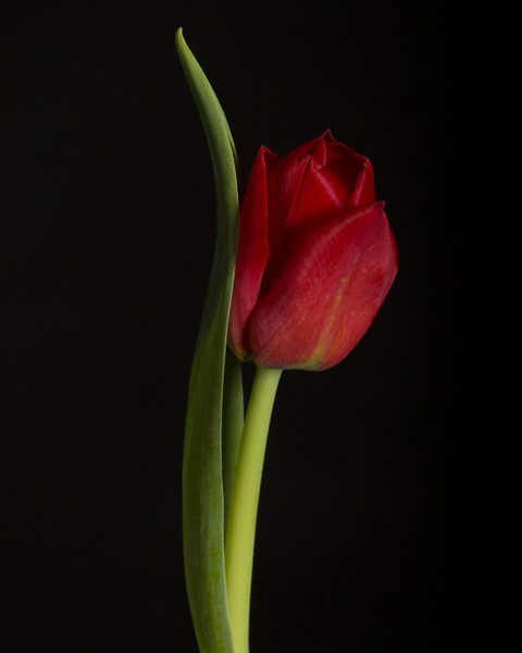 One Red Tulip, photographs