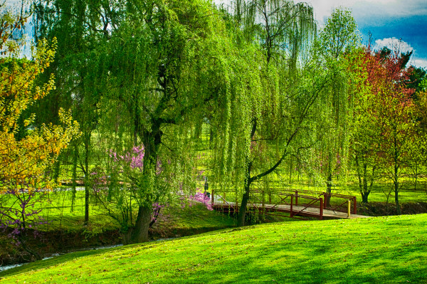 Beautiful Willows