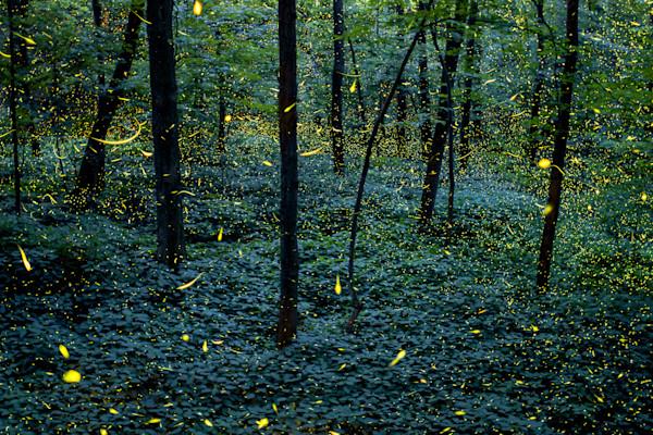 Fireflies of Fitzgerald - Grand Ledge, MI