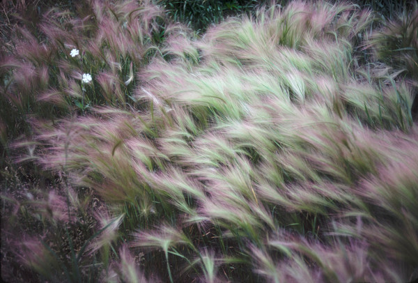 Soft foxtail barley bending to the breeze - fine art photograph