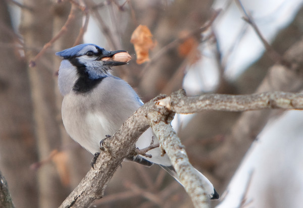 Colorful bluejay with two peanuts in its beak - fine art photograph