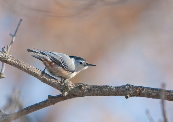White-breasted Nuthatch on a winter branch - fine art photograph